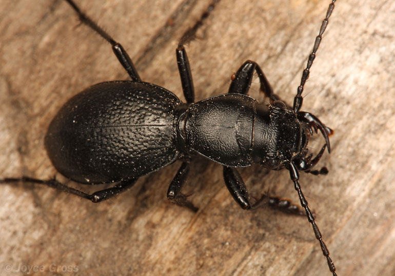 Omus californicus