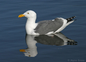 Larus occidentalis