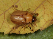 Cyclocephala sp.