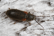 Macropogon testaceipennis