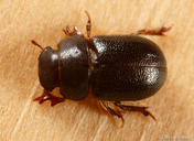 Cheirodes californicus